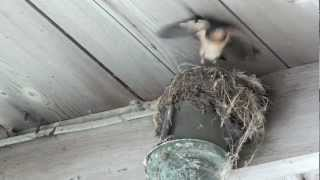 Baby bird leaves nest after mom cuts off food supply!