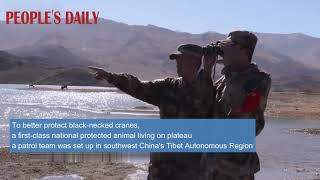 To better protect black-necked cranes, a patrol team was set up in SW China's Tibet