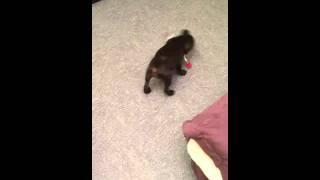Staffie (staffordshire Bullterrier) De 3 Mois Qui Joue Avec Sa Bouteille