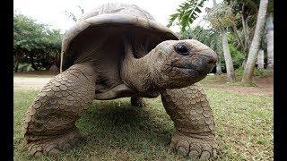 Слоновая черепаха ⁄ Galapagos tortoise 4K Ultra HD