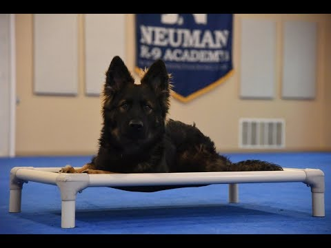 Garin (German Shepherd Dog) Boot Camp Dog Training Video Demonstration