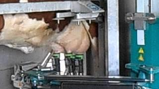 Robot de traite des vaches en france le 08/07/2013