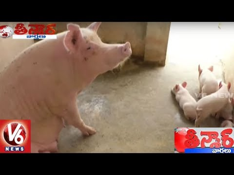 A New Cross-bred Pig Is Set To Hit The Pork Market Soon | Tirupati Varaha | Teenmaar News