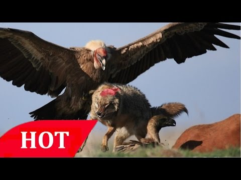Animal Documentary Full Eagles Attacks Animals National Geographic HD