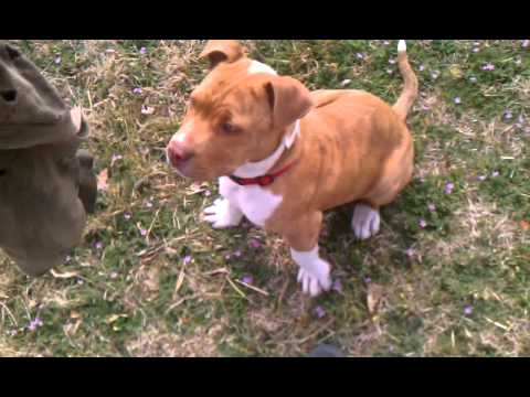 Training pitbull puppy protection dog