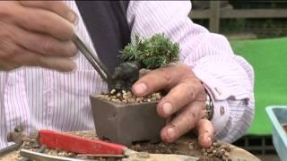 小品盆栽 五葉松の植え替え thumbnail