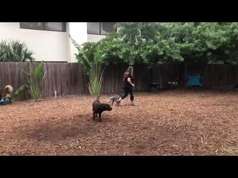 Sandy | Mini Aussie | Week 1
