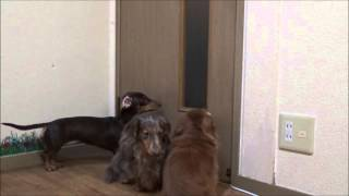 ミニチュアダックスフントの犬の鳴き声吠える Barking barks of dogs of...