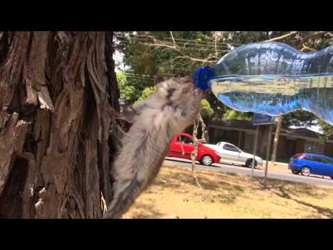 Thirsty possum having a drink in Melbourne's heatwave