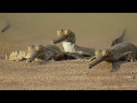 Crocodilian Superdads Gharial On The Chambal River In North
