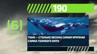 Сколько весил самый крупный голубой кит?