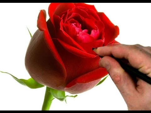 How to draw a rose step by step flower drawing tutorial for How to paint a rose in watercolor step by step