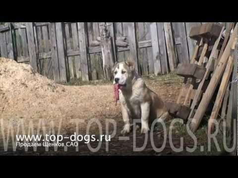 Среднеазиатская овчарка. Central Asian Shepherd dog .