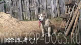 Среднеазиатская овчарка. Central Asian Shepherd dog .