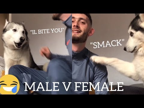 Pretending I Can't See My Huskies! [Male V Female] [Ignoring Prank]