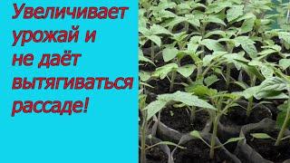 Проверенная подкормка рассады томатов! Первая подкормка томатов.