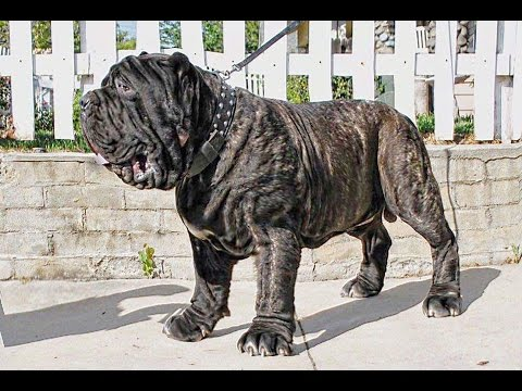 AMERICAN MOLOSSUS: RECREATING AN ANCIENT DOG BREED