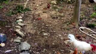 Chickens flying out of coop