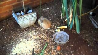calopsitas,periquitos australianos,coelhos,porquinhos da india,pintinhos,ramisters,mandarins,manos,etc,em um big viveiro