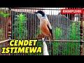 Ampuhhh Pancingan Cendet Gacor Full Isian Cocok Buat Masteran  Mp3 - Mp4 Download