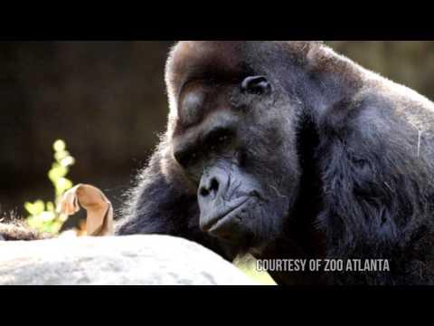 Meet Ivan - A Gorilla's Story