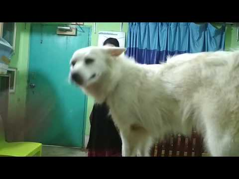 Routine Health Check up for a Spitz Dog  @ Dr. Sagir's Pet Clinic 01912251312