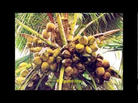 Famous Coconut varieties in India