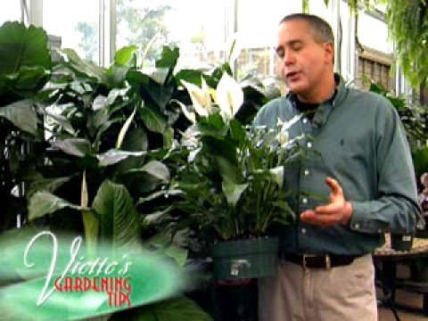 Peace Lily - Youtube