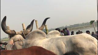 Big Kankraj Bulls Jora | Paragram