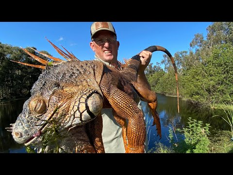 Massive IGUANA And Miracle Berry {Catch Clean Cook} Iguana Curry