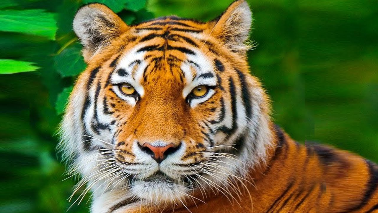Animais para educa o infantil youtube - Image tete de tigre ...