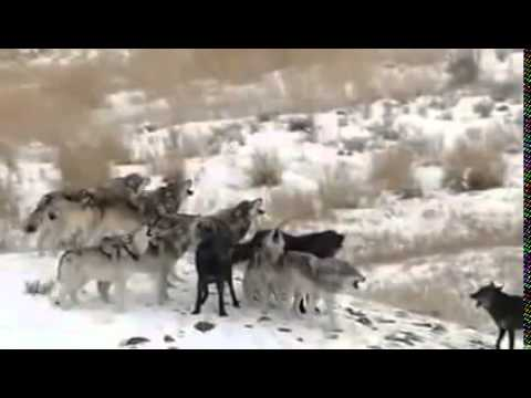 Wolves of Yellowstone Full Documentary Discovery Channel