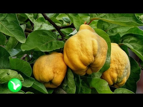 Вопрос: Каково хозяйственное значение фрукта айва?