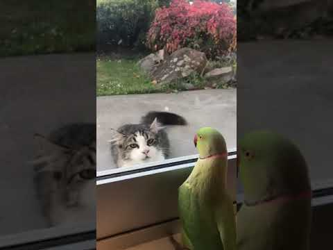 Rob and Hilary - Parrot plays peek a boo with cat