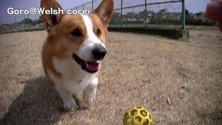 Goro Catchs Ball. Slow Motion Test Jvc Everio Gz-e565 / ボールをキャッチするコーギー スロー 20140318 Goro@welsh Corgi