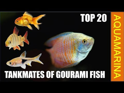 Top 20 Best Tankmates For Gourami Fish | Fishes Compatible With Gourami Fish || Aquamarina