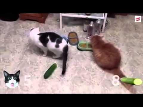 Soprendente como gato le tiene miedo al pepino