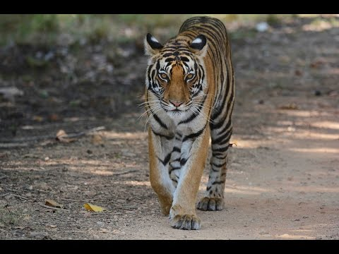Feel the power of this Tiger (female) as she walks towards us