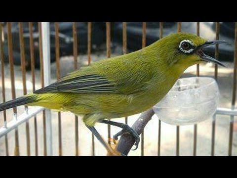 Kicaru Burung Pleci Dakun Gacor Suara Edan Buka Paruh