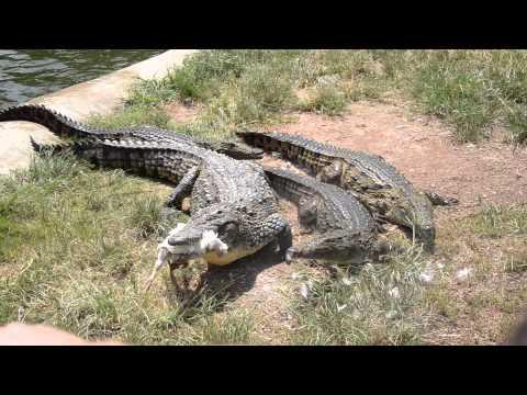 Monateng Safari Lodge - crocodile farm, eating some lekker chicken!