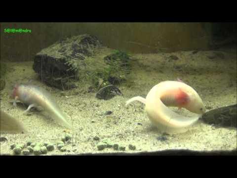 Axolotl juveniles feeding with pellets