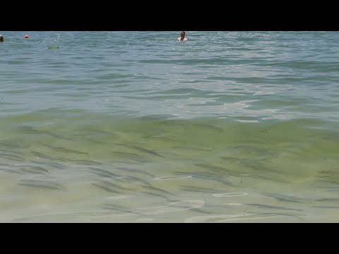 Hundreds of PRIZED Game Fish in INCHES of Water!  (Marco Island Beach Snook Fishing)