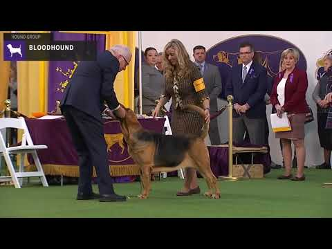 Bloodhounds | Breed Judging 2020