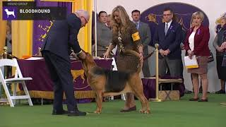 Bloodhounds   Breed Judging 2020