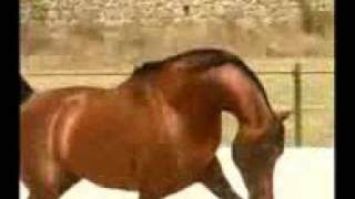 دبكة ....من خيول ام الفحم