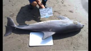 BP Oil Spill Caused Biggest Dolphin Die-Off In Gulf History