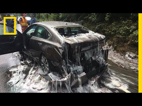 Thumbnail: Watch: 'Slime Eels' Explode on Highway After Bizarre Traffic Accident | National Geographic