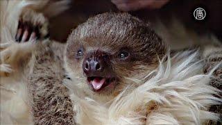 Малыш-ленивец считает мамой плюшевого медведя (новости)