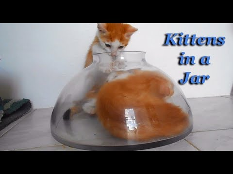 Kittens in a Jar (funny video)