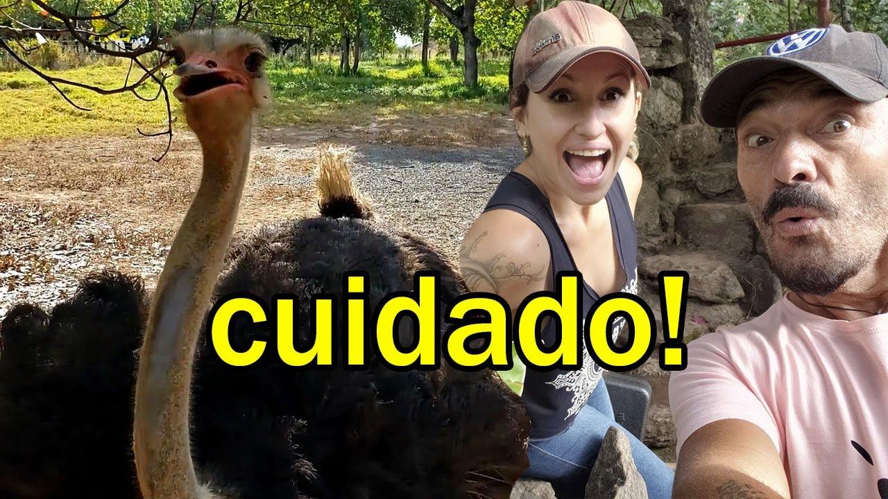O avestruz atacou nosso equipamento no Jardim Japonês - Morando na Kombi e turistando por aí